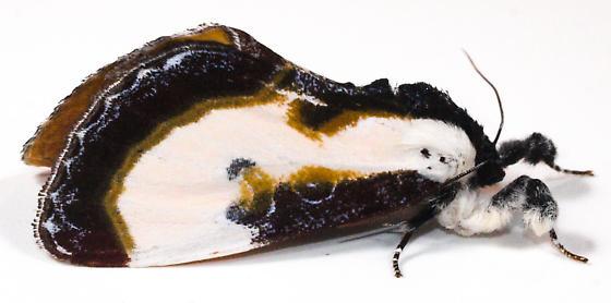 Moth to porch light  - Eudryas grata