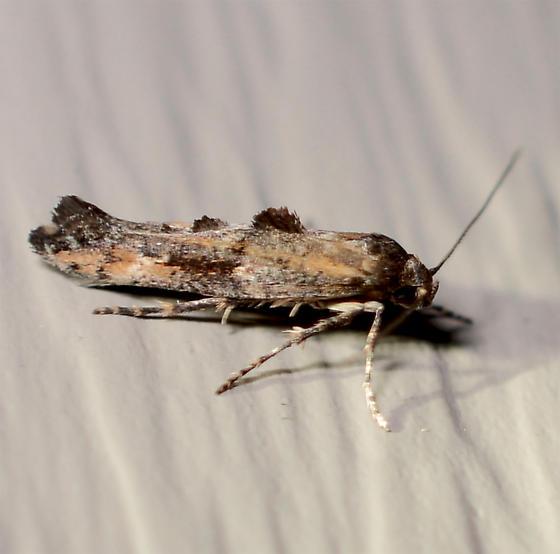 unknown micro - Epermenia