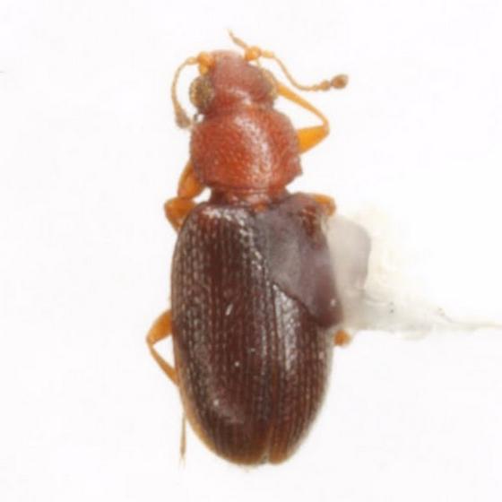 Melanophthalma simplex (LeConte) - Melanophthalma simplex