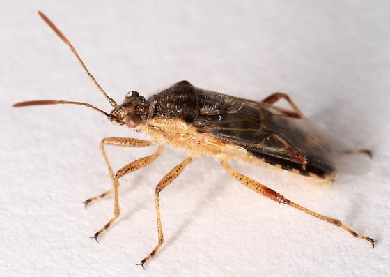 Liorhyssus hyalinus? - Liorhyssus hyalinus