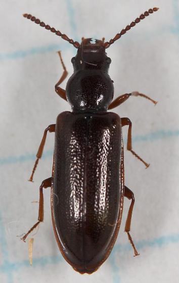 Ground Beetle? - Priognathus monilicornis