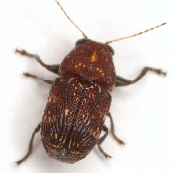 Pachybrachis latithorax Clavareau - Pachybrachis latithorax