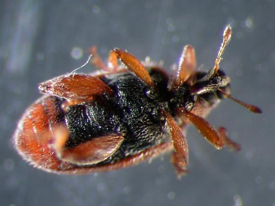 Folsom Weevil - Orchestes steppensis