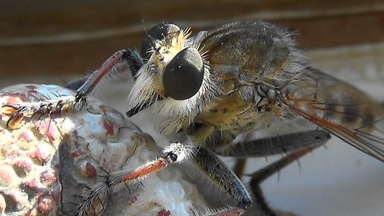 Robber Monster (sunlight) - Efferia albibarbis - male