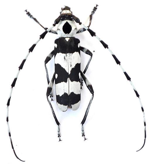 Rosalia funebris  - Rosalia funebris - male
