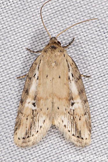 tan moth with white stripes - Acrapex relicta