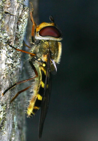 Syrphid Fly on a tree on March14, 2006 in Mineral County, West Virginia