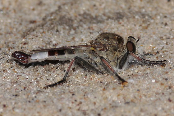 Efferid Robber fly - Efferia albibarbis - male