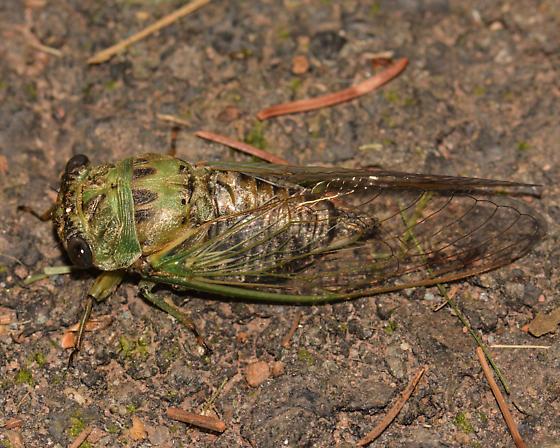 Eastern Scissor Grinder Cicada? Neotibicen winnemanna? - Neotibicen winnemanna