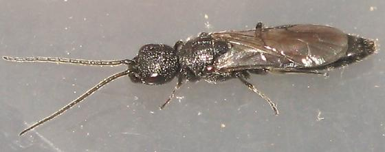 Unknown wasp or sawfly - Pristepyris