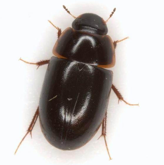 Cymbiodyta