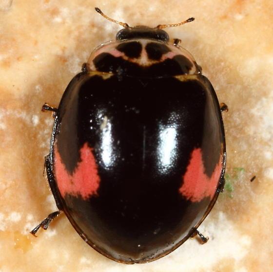 Ladybug - Neoharmonia venusta