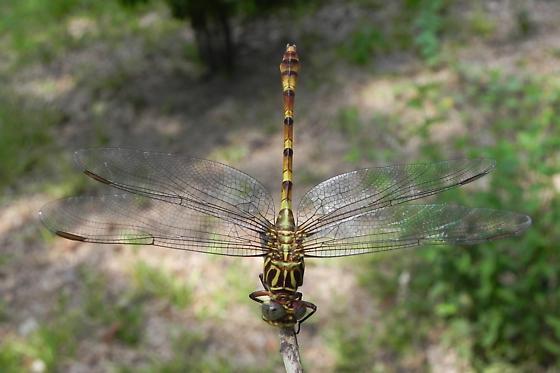 TX Dragonfly species? - Aphylla angustifolia
