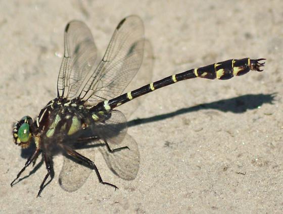 Zebra Clubtail - Stylurus scudderi - male