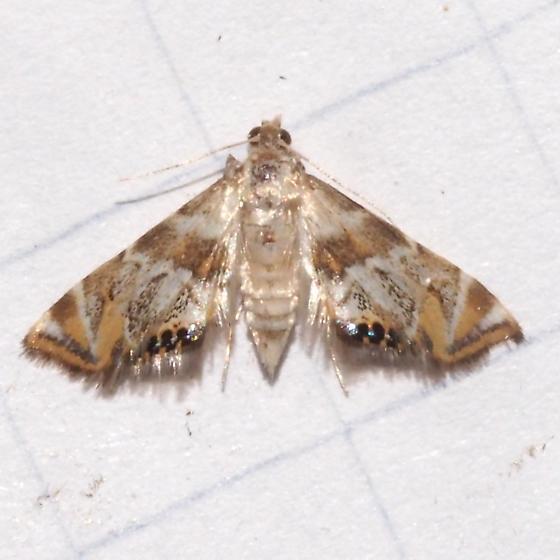 Hodges#4784.1 - Petrophila heppneri
