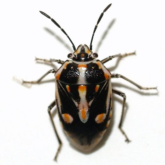 Small Pentatomid - Bagrada hilaris