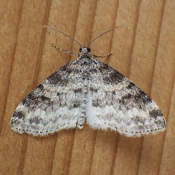 Geometridae: Lobophora nivigerata - Lobophora nivigerata