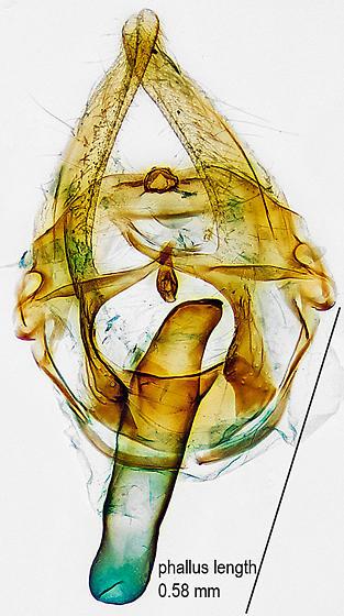 genitalia - Thyraylia nana - male