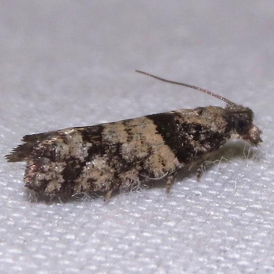 Tortricidae spp. - Epinotia radicana