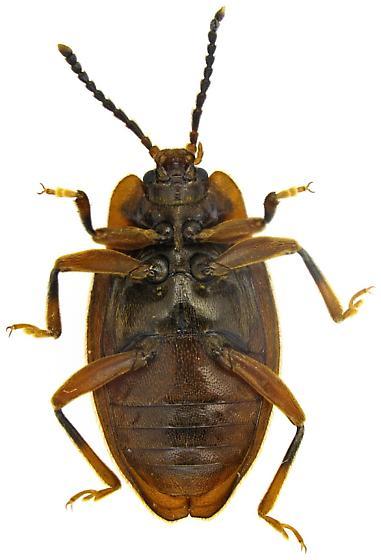 Epipocus, maybe E. opacus? - Epipocus - female