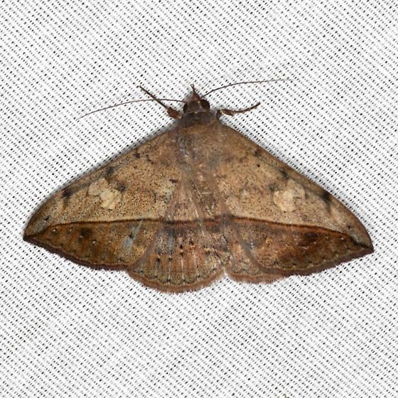 Velvetbean Caterpillar Moth - Hodges #8574 - Anticarsia gemmatalis