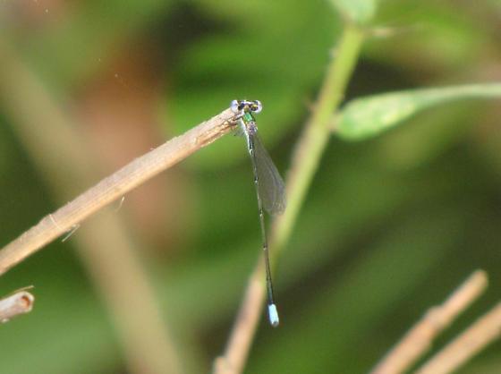 Sphagnum Sprite - Nehalennia gracilis - male