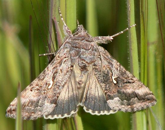 Scallop Moth?