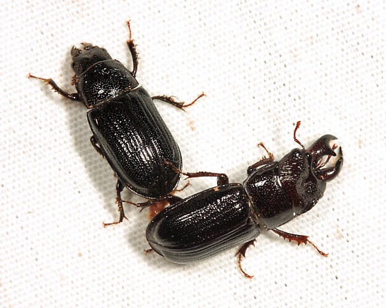 mating Stag Beetles - Ceruchus piceus - male - female