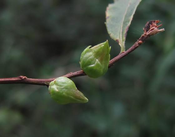 galls on Spiraea alba