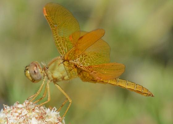 Amberwing Dragonfly - Perithemis intensa