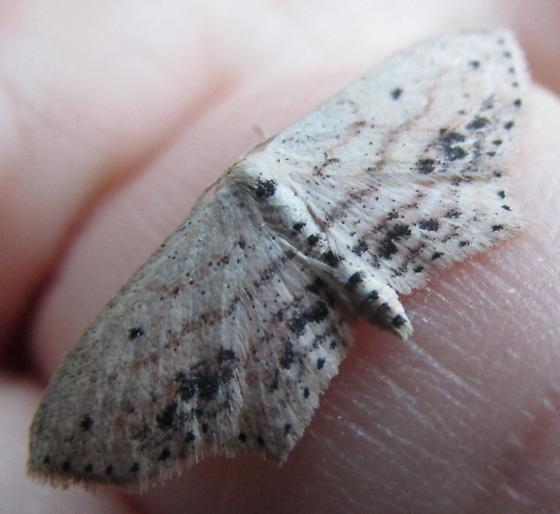 Species Scopula cacuminaria - Frosted Tan Wave Moth - Hodges#7157 ? - Scopula cacuminaria