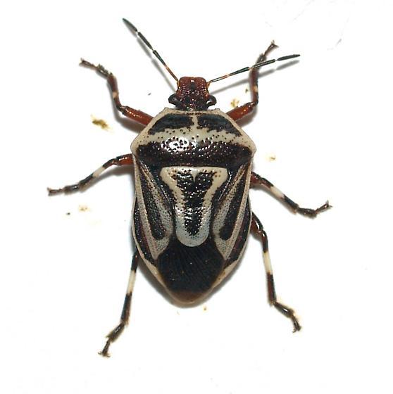 Perillus sp. - Perillus bioculatus