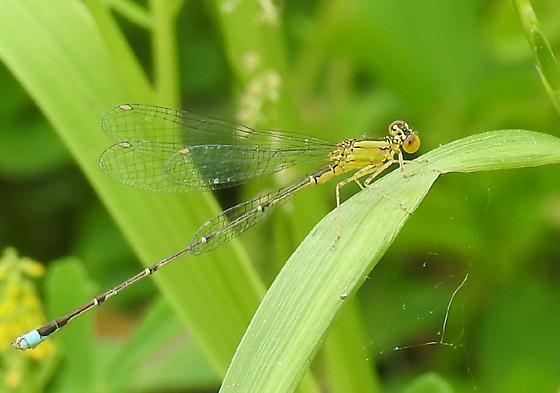 damselfly - Enallagma vesperum - male