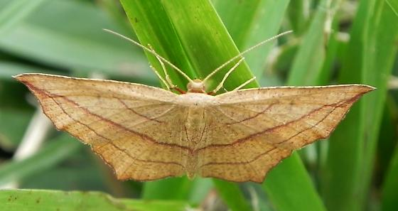Moth - Timandra amaturaria