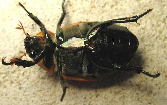Pelidnota punctata - Grapevine Beetle - Pelidnota punctata