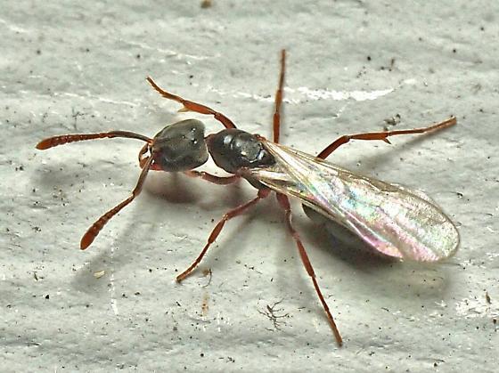 Dracula Ant? - Hypoponera opaciceps