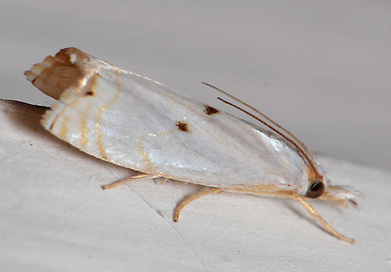 Moth for ID - Microcrambus biguttellus