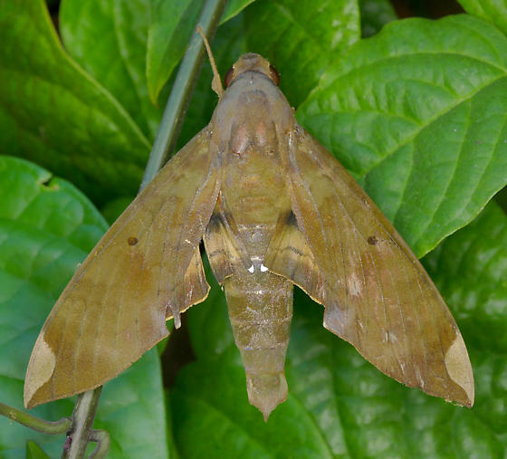 Texas SE Gulf Coast - Pachylia ficus