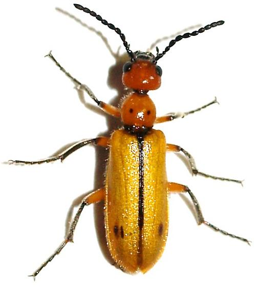 Blister Beetle - Lytta biguttata