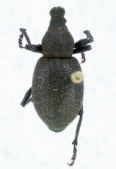 Acmaegenius hylobinus LeConte - Trichalophus hylobinus
