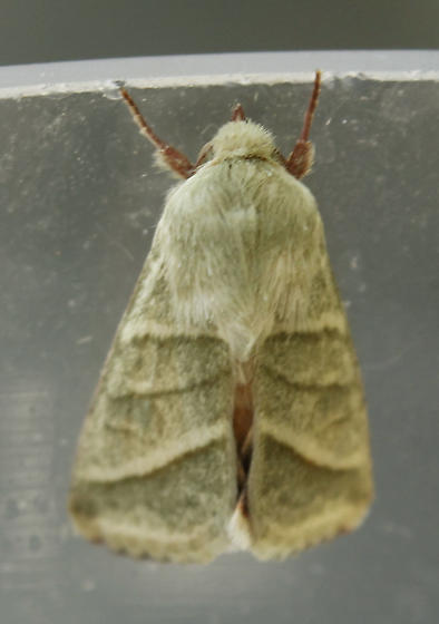 Green moth - Chloridea virescens
