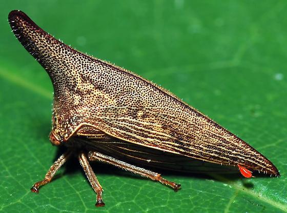 unidentified treehopper - Thelia bimaculata - female