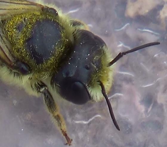 Leaf-cutter Bee & Her Ball - Megachile - female