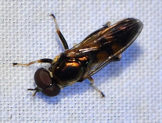 Syrphidae ?? - Xylota - male