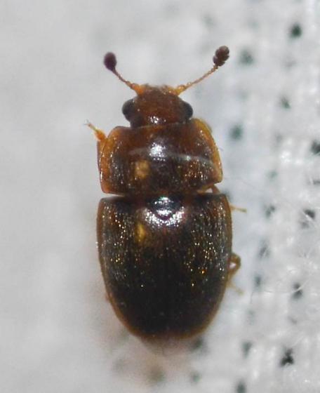 beetle - Epuraea
