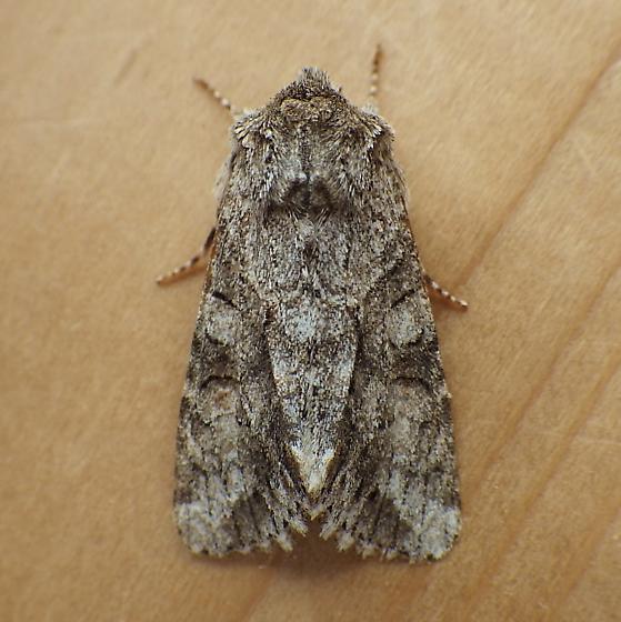 Noctuidae: Achatia distincta - Achatia distincta