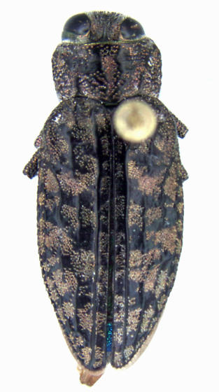 Chrysobothris breviloba Fall - Chrysobothris breviloba - female
