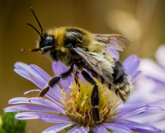 Mining bee? - Bombus rufocinctus