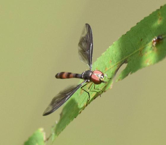 Syrphidae sp. - Ocyptamus fuscipennis