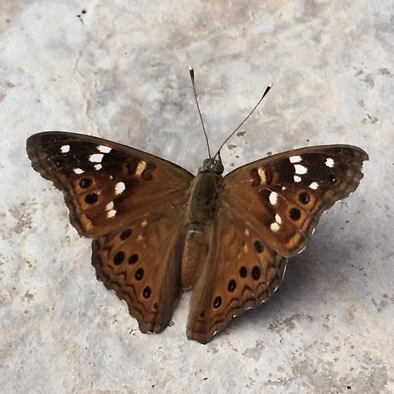 Moth? Butterfly? - Asterocampa leilia